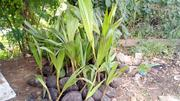 Coconut Seedlings | Feeds, Supplements & Seeds for sale in Oyo State, Ido