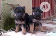 Brilliant Bloodline German Shepherd Guard Dog Puppy / Puppies For Sale | Dogs & Puppies for sale in Lagos State, Ajah