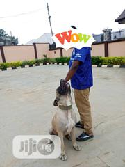 Adult Male Purebred Boerboel | Dogs & Puppies for sale in Oyo State, Egbeda