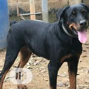 Rottweiler Adult   Dogs & Puppies for sale in Oyo State, Ibadan