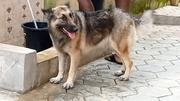 Adult Female Purebred German Shepherd Dog | Dogs & Puppies for sale in Lagos State, Ikotun/Igando