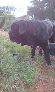 For Stud Services Only | Dogs & Puppies for sale in Enugu State, Enugu East