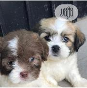 Lhasa Apso Puppies Available for Sale | Dogs & Puppies for sale in Lagos State, Kosofe