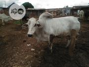 Very Big White Cow For Slaughtering | Livestock & Poultry for sale in Sokoto State, Sokoto North
