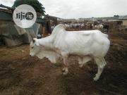 White Cow For Slaughtering | Livestock & Poultry for sale in Sokoto State, Sokoto North