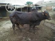Very Big Cow For Slaughtering | Livestock & Poultry for sale in Sokoto State, Sokoto North
