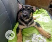 German Shepherd Puppies | Dogs & Puppies for sale in Lagos State, Agege