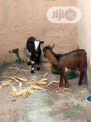 Healthy Goat For Rearing For Sale | Other Animals for sale in Lagos State, Agege