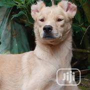 Adult Female Pitbull | Dogs & Puppies for sale in Edo State, Ovia North East