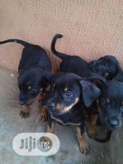 ROTTWEILER Puppies for Sale   Dogs & Puppies for sale in Anambra State, Awka South
