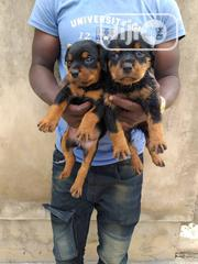 Solid and Dope Rotweiler Pups | Dogs & Puppies for sale in Oyo State, Ibadan North East