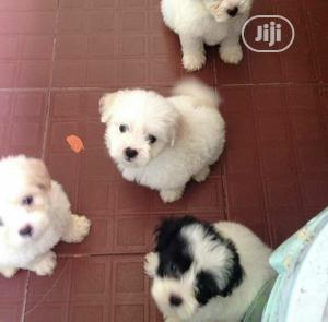 Quality And Lovely Lhasa Apso Puppies