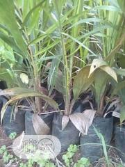 Palm 2years In Nursery | Feeds, Supplements & Seeds for sale in Edo State, Okada