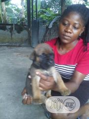 Baby Male Purebred Boerboel | Dogs & Puppies for sale in Lagos State, Ajah