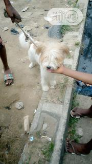 T.Berg Nice And Lovely Dog | Dogs & Puppies for sale in Lagos State, Shomolu
