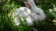 Mature Rabbit Bunny in Abuja | Livestock & Poultry for sale in Abuja (FCT) State, Bwari