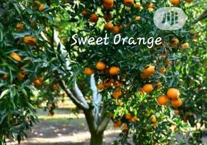 Sweet Orange Seedling For Sale
