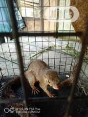 Squirrels For Sale | Other Animals for sale in Delta State, Ughelli North