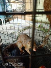 Squirrel For Sale | Other Animals for sale in Delta State, Ughelli North