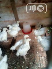 Day Old Birds Available | Livestock & Poultry for sale in Edo State, Akoko-Edo