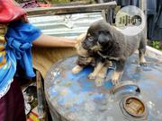 German Roth   Dogs & Puppies for sale in Abuja (FCT) State, Nyanya