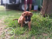 Imported Boxer Puppies Available   Dogs & Puppies for sale in Lagos State, Isolo