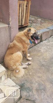 Adult Female Purebred Caucasian Shepherd Dog | Dogs & Puppies for sale in Oyo State, Oluyole