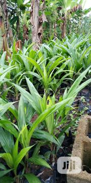 Oil Palm Seedling | Feeds, Supplements & Seeds for sale in Oyo State, Akinyele