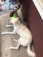 Adult Male Purebred German Shepherd Dog | Dogs & Puppies for sale in Osun State, Osogbo