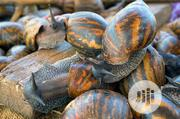 Fresh Snails   Livestock & Poultry for sale in Ondo State, Akure