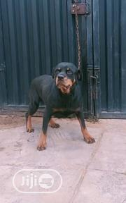 11months Old Female Rottweiler for Sale   Dogs & Puppies for sale in Oyo State, Ibadan North