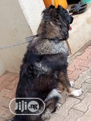 Adult Female Purebred Caucasian Shepherd Dog | Dogs & Puppies for sale in Lagos State, Ikorodu