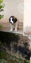 Baby Male Purebred Saint Bernard | Dogs & Puppies for sale in Lagos Mainland, Lagos State, Nigeria