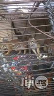 Squirrel For Sale | Other Animals for sale in Lagos Mainland, Lagos State, Nigeria