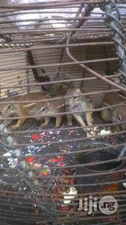 Squirrel For Sale | Other Animals for sale in Lagos State, Lagos Mainland