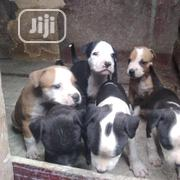 Fierce American Pitbull Terrier Puppy / Puppies Male Female for Sale | Dogs & Puppies for sale in Oyo State, Ibadan