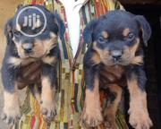 Top Quality Rottweiler Caucasian Puppy / Puppies Male Female for Sale   Dogs & Puppies for sale in Oyo State, Ibadan North East