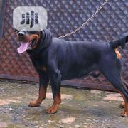 Fertile German Rottweiler | Dogs & Puppies for sale in Edo State, Ovia North East