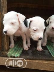 Baby Male Purebred American Pit Bull Terrier | Dogs & Puppies for sale in Oyo State, Ibadan North East