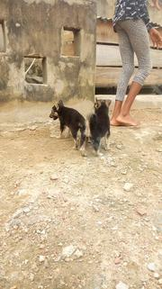 Baby Female Purebred German Shepherd Dog | Dogs & Puppies for sale in Oyo State, Ibadan South West