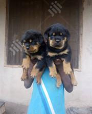 Baby Male Purebred Rottweiler | Dogs & Puppies for sale in Oyo State, Ibadan North East