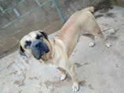 Adult Male Purebred   Dogs & Puppies for sale in Oyo State, Ibadan North