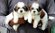 Baby Male Purebred Lhasa Apso | Dogs & Puppies for sale in Oyo State, Ibadan North East