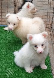 Baby Male Purebred Samoyed | Dogs & Puppies for sale in Oyo State, Ibadan North East