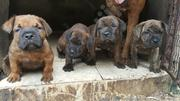 Baby Male Purebred Boerboel | Dogs & Puppies for sale in Rivers State, Port-Harcourt