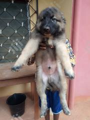 Baby Male Purebred Caucasian Shepherd Dog | Dogs & Puppies for sale in Enugu State, Enugu East
