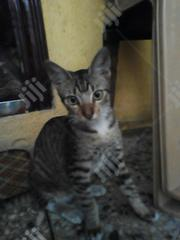 Young Male Mixed Breed Chinese Li Hua | Cats & Kittens for sale in Lagos State, Isolo