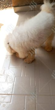 Adult Male Purebred Lhasa Apso   Dogs & Puppies for sale in Oyo State, Ibadan