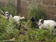 Goats For Sale | Other Animals for sale in Oyo State, Oluyole