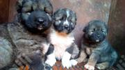 Baby Female Purebred Caucasian Shepherd Dog | Dogs & Puppies for sale in Abuja (FCT) State, Maitama